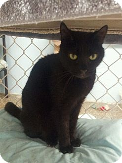Bombay Cat for adoption in Freeport, New York - Wembly