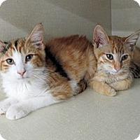 Adopt A Pet :: Blossom - Riverhead, NY