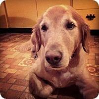 Adopt A Pet :: Landon - St Louis, MO