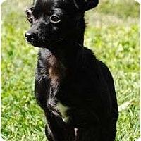 Adopt A Pet :: Schoshe - Plainfield, CT