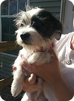 Shih Tzu/Terrier (Unknown Type, Small) Mix Dog for adoption in Chiefland, Florida - Kami