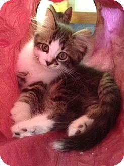 Domestic Longhair Kitten for adoption in Byron Center, Michigan - Incognato