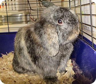 Lop, Holland for adoption in Elizabeth City, North Carolina - Roger
