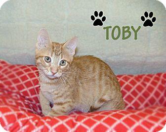 Domestic Shorthair Kitten for adoption in Centerville, Utah - Toby