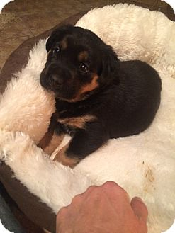 Rottweiler Puppy for adoption in Gilbert, Arizona - female puppies