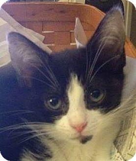 Domestic Shorthair Cat for adoption in Walworth, New York - Ruby