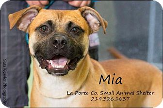 Boxer Mix Dog for adoption in La Porte, Indiana - Mia