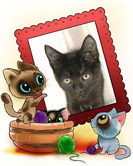 Domestic Shorthair Kitten for adoption in Pueblo West, Colorado - Kelly