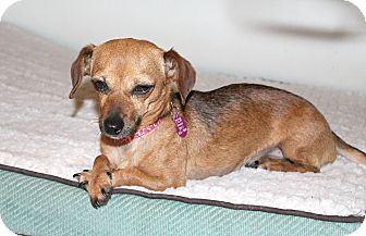 Dachshund/Chihuahua Mix Dog for adoption in Los Angeles, California - Topaz- I have a video!