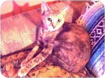 Oriental Cat for adoption in New York, New York - Delphine