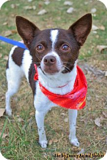 Jack Russell Terrier/Terrier (Unknown Type, Medium) Mix Dog for adoption in Sidney, Ohio - Mindy