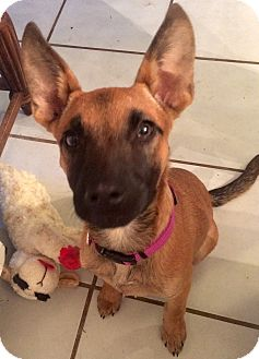 German Shepherd Dog Mix Puppy for adoption in Moosup, Connecticut - MINKA