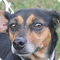 Adopt A Pet :: Shay - North Olmsted, OH