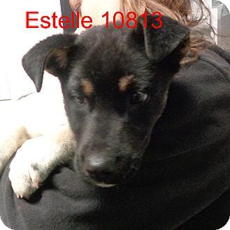 Akita Mix Puppy for adoption in Greencastle, North Carolina - Estelle