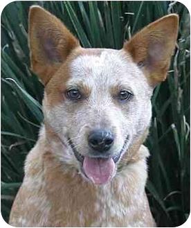 Australian Cattle Dog Dog for adoption in Santa Barbara, California - Sally