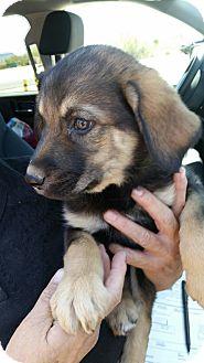 Shepherd (Unknown Type)/Labrador Retriever Mix Puppy for adoption in Tucson, Arizona - Jodie