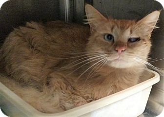 Maine Coon Cat for adoption in Chattanooga, Tennessee - Floyd