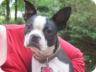 Boston Terrier Puppy for adoption in Washington, D.C. - Chubbs