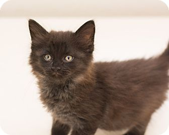 Domestic Longhair Kitten for adoption in Fountain Hills, Arizona - Smudge