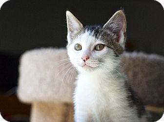 Domestic Shorthair Kitten for adoption in Great Falls, Montana - Augie