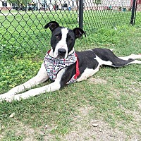 Great Dane/Pointer Mix Dog for adoption in LANSING, Michigan - Diamond