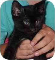 Domestic Shorthair Kitten for adoption in West Warwick, Rhode Island - Fred