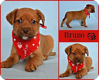 Chihuahua/Miniature Pinscher Mix Puppy for adoption in Phoenix, Arizona - Bruno