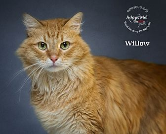 Maine Coon Cat for adoption in Phoenix, Arizona - Willow