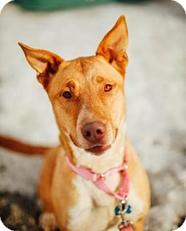 Basenji Mix Dog for adoption in Buena Vista, Colorado - Sheba