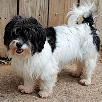Havanese Dog for adoption in Memphis, Tennessee - Laverne