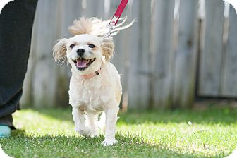 Shih Tzu Mix Dog for adoption in Red Wing, Minnesota - Itty Bitty