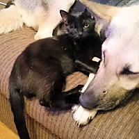 Domestic Shorthair Kitten for adoption in Sidney, Maine - Jesamiah