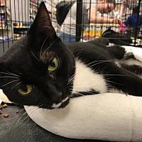 Domestic Shorthair Cat for adoption in Murfreesboro, North Carolina - Greer