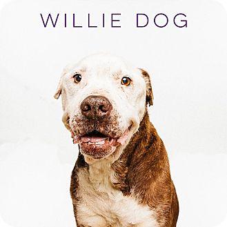 American Bulldog Mix Dog for adoption in Houston, Texas - Willie
