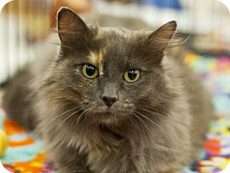 Domestic Longhair Cat for adoption in Great Falls, Montana - June Bug