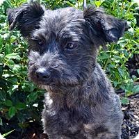 Adopt A Pet :: Buttercup-ADOPTION PENDING - Bridgeton, MO