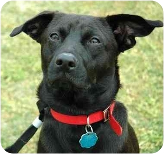 Labrador Retriever/Retriever (Unknown Type) Mix Dog for adoption in Olive Branch, Mississippi - Miracle on the Hudson