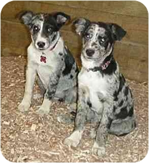Border Collie Mix Dog for adoption in Tiffin, Ohio - Wooster Blues!!!