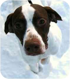Pointer Dog for adoption in Walker, Michigan - Nemo