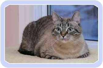 Domestic Shorthair Cat for adoption in Sterling Heights, Michigan - Milo - ADOPTED!