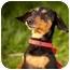 Photo 1 - Dachshund Dog for adoption in Ile-Perrot, Quebec - STELLA
