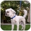 Photo 3 - Lhasa Apso/Poodle (Miniature) Mix Dog for adoption in Harbor City, California - Gus