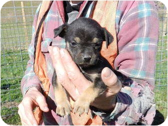 Pug/Feist Mix Puppy for adoption in Lawrenceburg, Tennessee - Lola