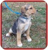 Shepherd (Unknown Type) Mix Puppy for adoption in Hagerstown, Maryland - Jasmin
