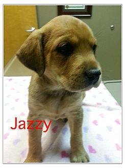 Labrador Retriever/Hound (Unknown Type) Mix Puppy for adoption in Glastonbury, Connecticut - Jazzy
