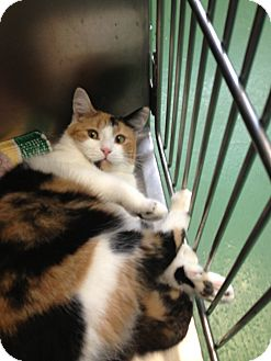 Domestic Shorthair Cat for adoption in South Haven, Michigan - Wilma