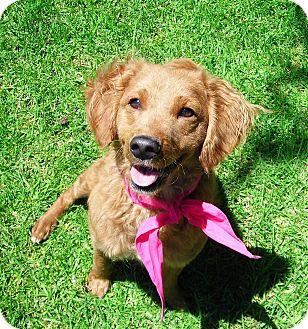 Spaniel (Unknown Type) Mix Dog for adoption in El Cajon, California - Goldie