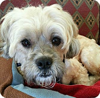 Lhasa Apso Mix Dog for adoption in Knoxville, Tennessee - Thomas
