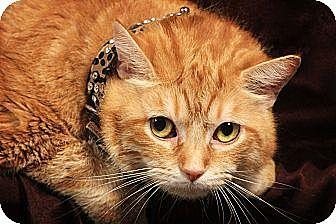 Domestic Shorthair Cat for adoption in Kerrville, Texas - Morris