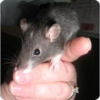 Adopt A Pet :: Murtle - Cincinnati, OH